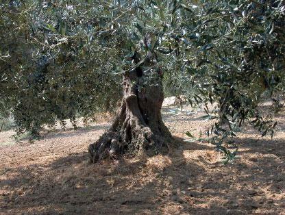 Olivi cultivar Gentile di Larino Azienda Zeoli